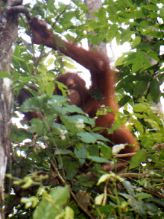 Orangutan Kinabatangan River Borneo