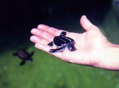 Baby green turtle at hatchery Pulau Seligaan