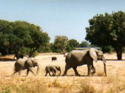 Herds of Elephants - Africa