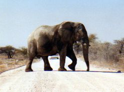 Elephant blocks our road in Namibia