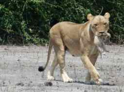 Mother lion carries her cub - easier to see with a custom tour