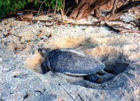 Borneo green turtle digging nest
