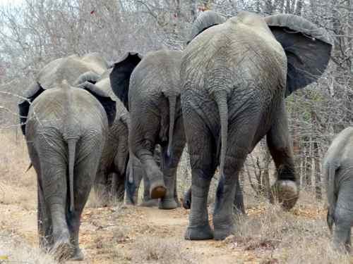 Elephants stroll down the road