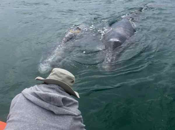 Mother and baby gray whale