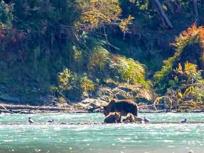 Bears feast on salmon Campbell River