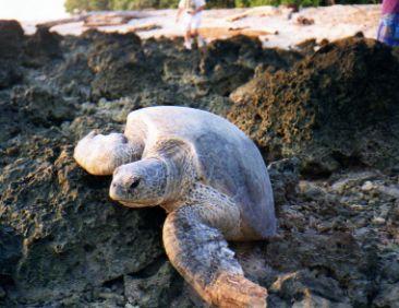 Borneo green turtle landing on rocky beach