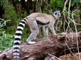 Ring-tailed lemurs at Berenty Private Reserve