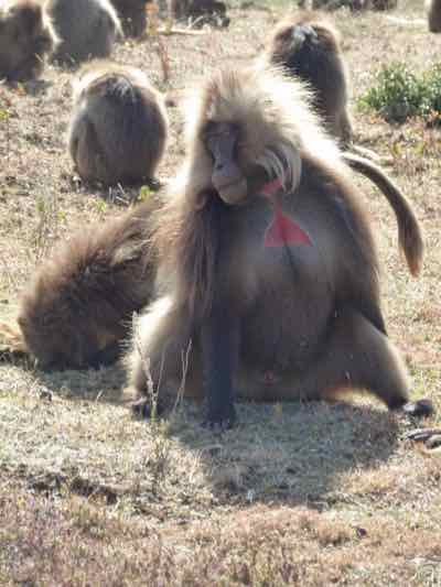 Gelada Baboons, Simien Mountains NP