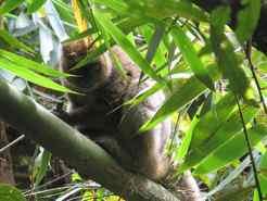 Golden Bamboo Lemur Ranomafana