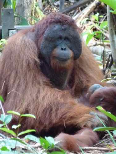 Mature Male Orangutan