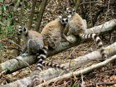 Ring-tailed lemurs, Berenty -  Madagascar