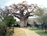 Tarangire camp tents and baobab