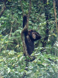 Chimpo in Gombe NP Tanzania