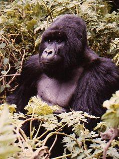 Silverback Mountain Gorilla Rwanda
