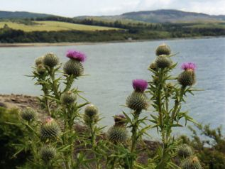 Loch Fyne Scotland and Scottish Thistles