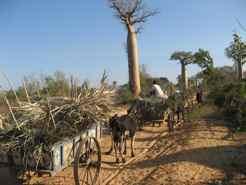 The Roads -  Baobab Alley and Zebu Carts