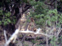 Lion hiding in bush Chobe Botswana