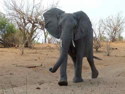 Irritated Elephant in Chobe NP, Botswana