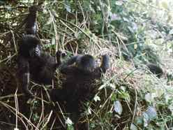Baby Mountain Gorillas playing