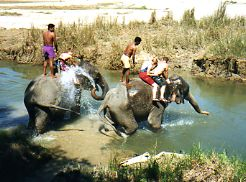 Bathing elephants Royal Chitwan NP Nepal