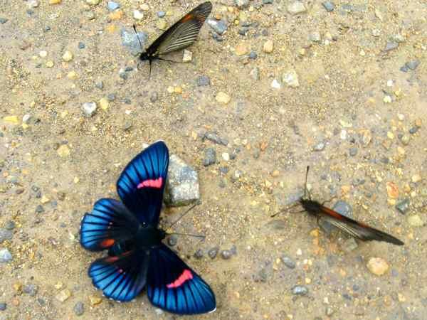 Pretty butterfly Peru