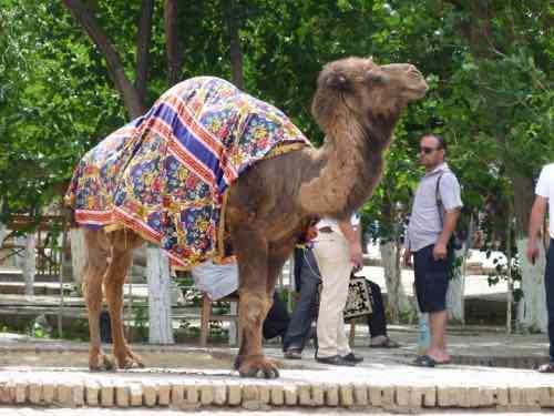 Camel in Khiva, Usebekistan