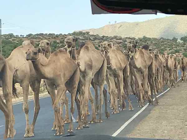 Camel Caravan Along The Road