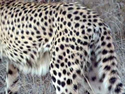 Cheetah bumm, Timbavati