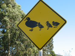 Watch for baby ducks- Australian roadsign