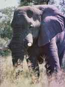 Elephant in camp Moremi Botswana