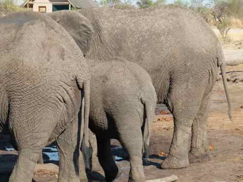 Elephants at waterhole, Elephant Sands, Botswana
