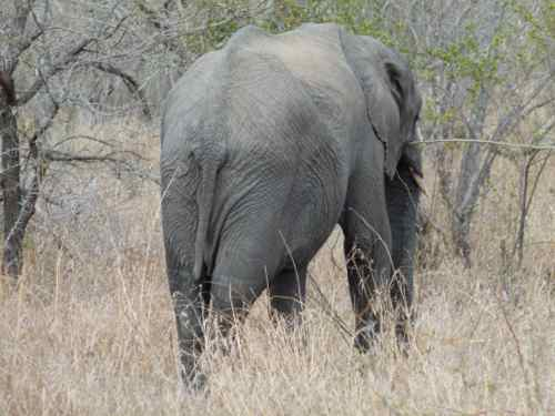 Elephant in Timbavati Reserve