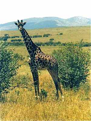 Giraffe on safari in Africa