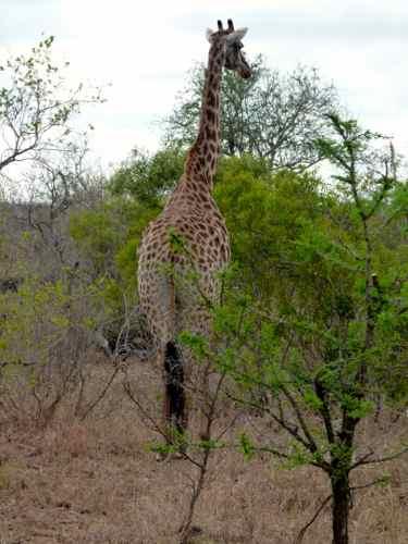 Giraffe browsing, Timbavati
