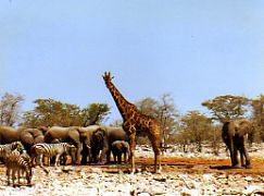 Elephant and giraffe Namibia