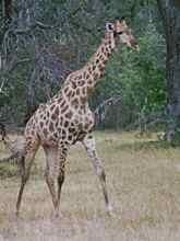 Giraffe in Moremi National Park