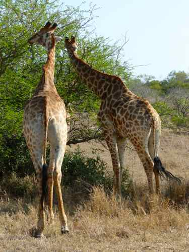 Giraffe, Timbavati, South Africa
