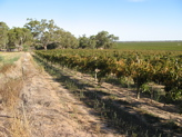 Sea of Grapevines Padthaway Wine Region Australia
