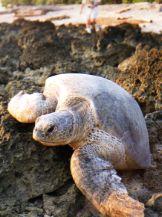 Green Turtle Borneo