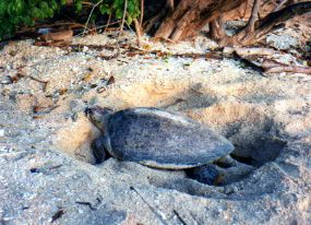 Borneo green turtle digging nest
