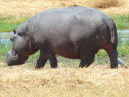 Hippo out of water, Khwai River