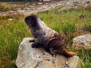 Hoary Marmot Whistler BC