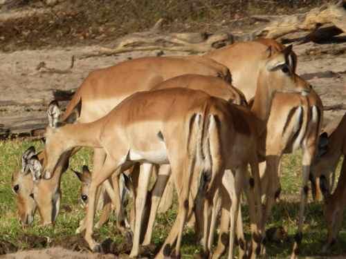 Female Impala Chobe NP Botswana