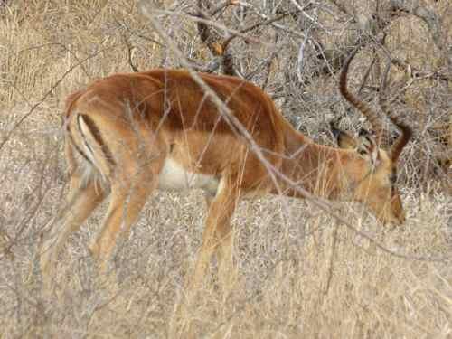 Male Impala Timbavati Reserve South Africa