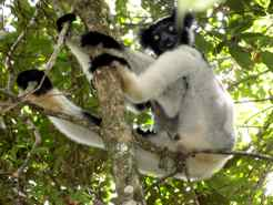 Indri in Madagascar
