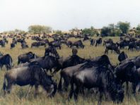 Do you want to see the Wildebeest migration on the Serengeti?