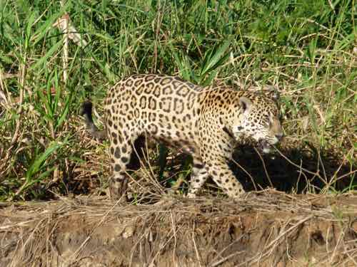 Jaguar in Brazil