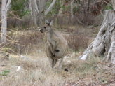 A live Skippy kangaroo at Naracoorte Caves