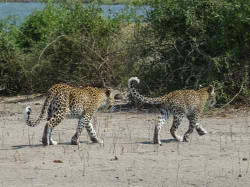 Leopard mum and cub, Chobe NP