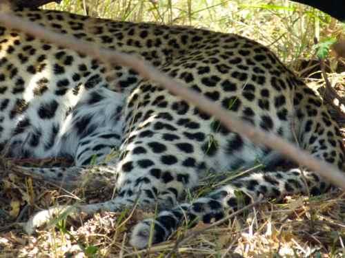 Leopard bumm... at rest, Chobe
